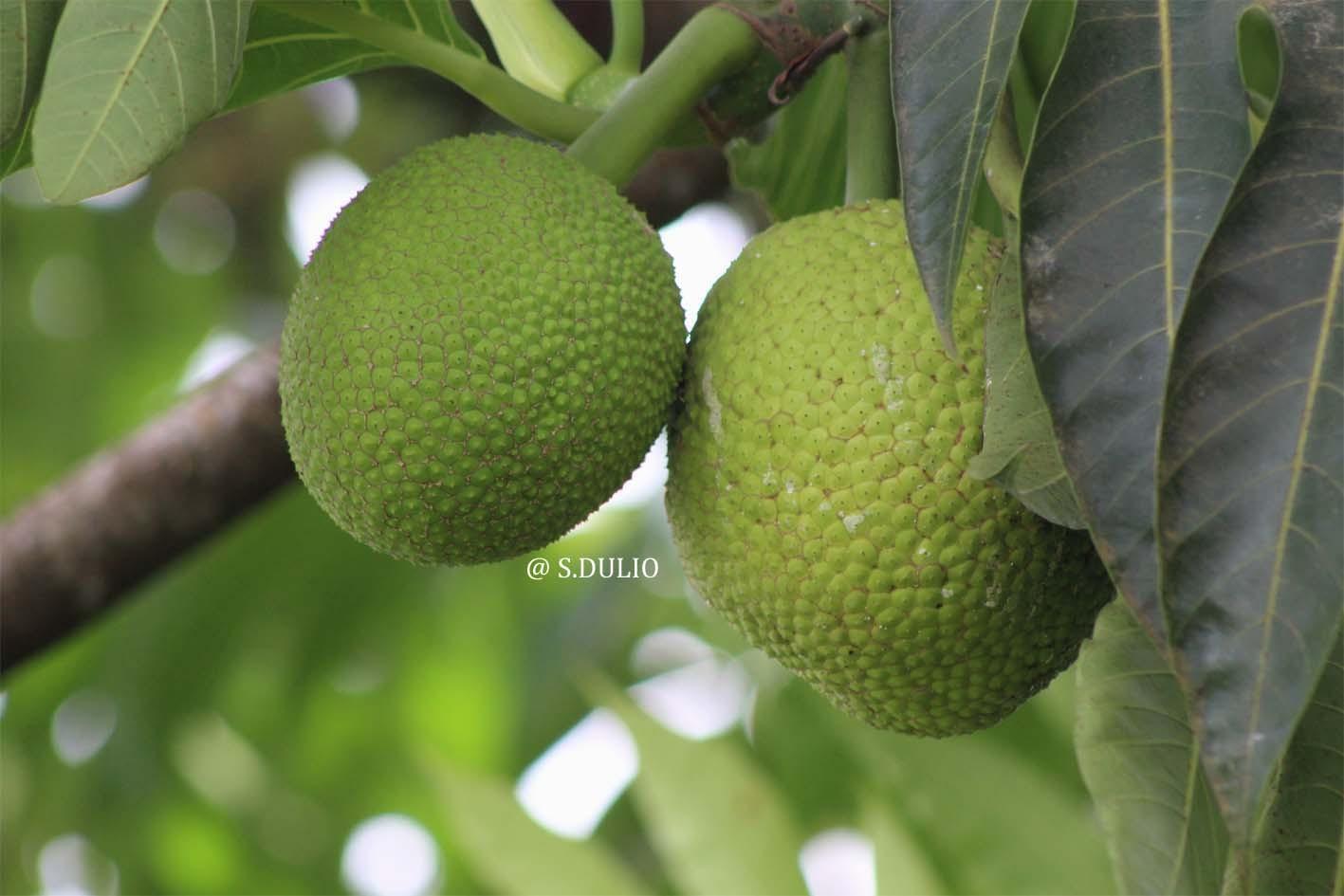 Fruit à pain1