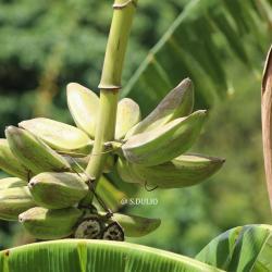 Banane cancambou