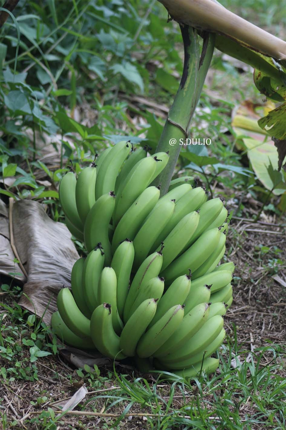 Banane ti nain
