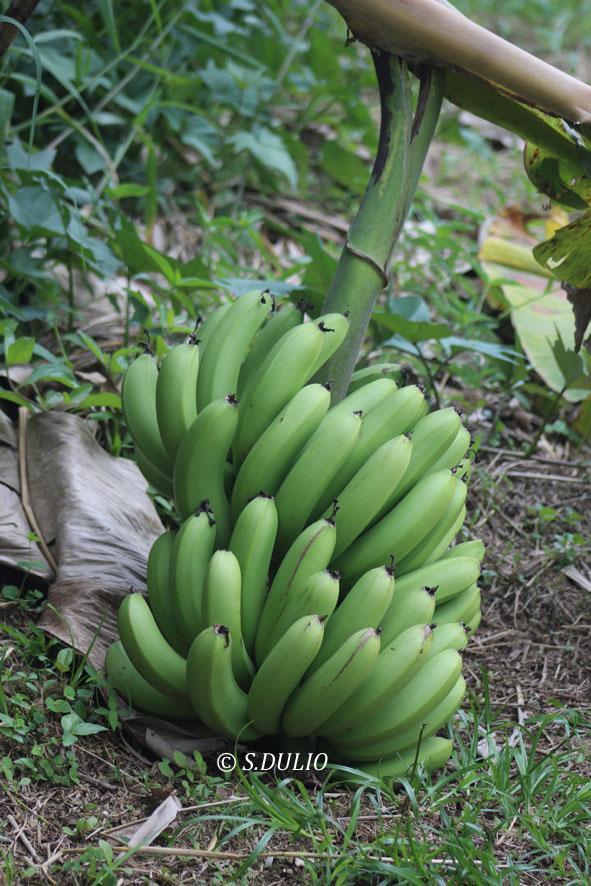 Banane verte 1